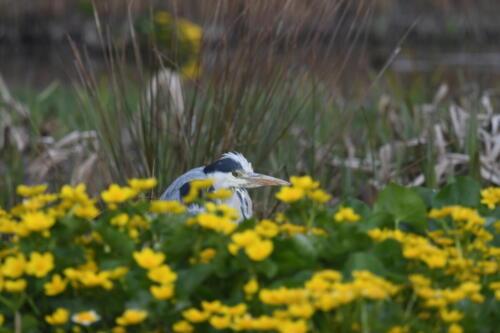 Grey Heron at St Fittick's Community Park